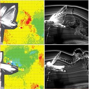 Gafanhoto vai para túnel de vento para inspirar microrrobôs voadores